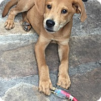 Shepherd (Unknown Type) Mix Puppy for adoption in Albany, New York - Jenner
