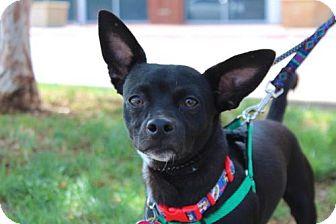 Chihuahua/Dachshund Mix Dog for adoption in Wylie, Texas - Bat Dog
