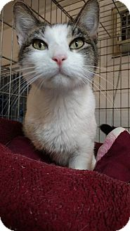 Domestic Shorthair Cat for adoption in Hanna City, Illinois - Meadows