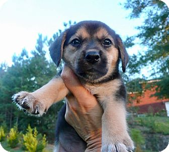 Beagle Mix Puppy for adoption in East Windsor, Connecticut - Lil Sister-ADOPTION PENDING