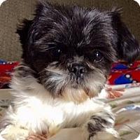 Shih Tzu Dog for adoption in Polson, Montana - Della