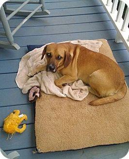 Beagle Mix Dog for adoption in Harrisville, Rhode Island - Georgia
