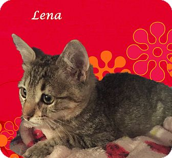 Domestic Shorthair Kitten for adoption in Monrovia, California - A Baby: LENA
