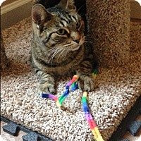 Domestic Shorthair Cat for adoption in Phoenix, Arizona - Tabby