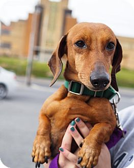 Dachshund Mix Dog for adoption in Whitehall, Pennsylvania - Buster