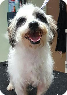 Terrier (Unknown Type, Small) Mix Dog for adoption in Victoria, Texas - Jax