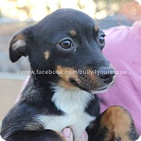 Chihuahua/Jack Russell Terrier Mix Puppy for adoption in Broadway, New Jersey - Bonnie
