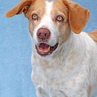 Brittany/Labrador Retriever Mix Dog for adoption in Encinitas, California - Fidji
