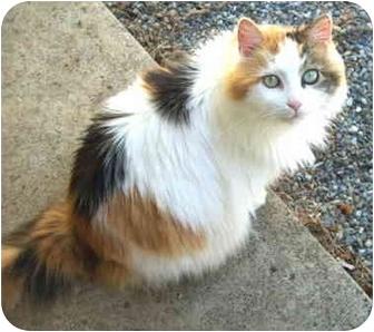 Calico Cat for adoption in Crescent City, California - Hope