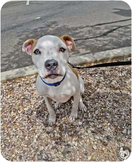 American Pit Bull Terrier Mix Dog for adoption in Mesa, Arizona - Captain Jack