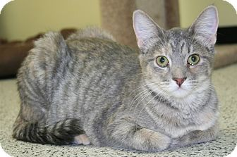 Domestic Shorthair Cat for adoption in Edmonton, Alberta - Heidi