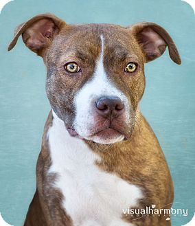 Staffordshire Bull Terrier Mix Dog for adoption in Phoenix, Arizona - MARLEE