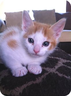 Domestic Shorthair Kitten for adoption in Irvine, California - SIMBA