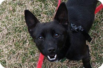 Schipperke Mix Puppy for adoption in Hastings, New York - Merlin