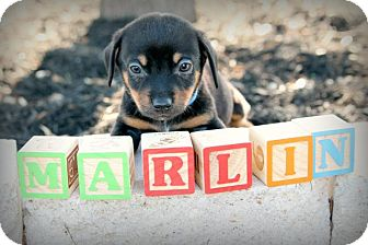 Dachshund Mix Puppy for adoption in Austin, Texas - Marlin