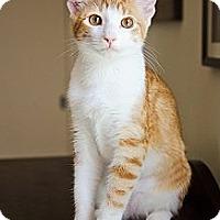 Adopt A Pet :: Bonnie - Westminster, MD