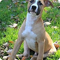 Adopt A Pet :: Shane 14 weeks old - Burr Ridge, IL