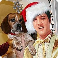 Adopt A Pet :: Elvis - Novi, MI
