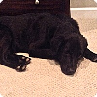 Adopt A Pet :: Bear - Oak Brook, IL