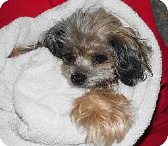 yorkie rescue kentucky katie adopted dog lexington ky yorkie yorkshire 6552