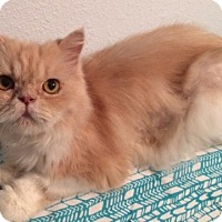 Helping Persian Cats Rescue