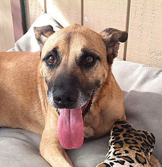 Hound (Unknown Type)/Shepherd (Unknown Type) Mix Dog for adoption in Canoga Park, California - Thunder