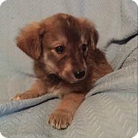 Adopt A Pet :: Ranger - Hillsboro, IL