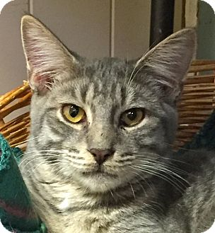 Domestic Longhair Cat for adoption in New Windsor, New York - Goliath