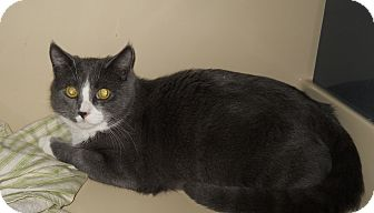 Domestic Shorthair Cat for adoption in Saranac Lake, New York - Griffin