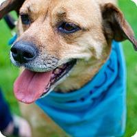 Adopt A Pet :: Taffy Apple - Aurora, IL