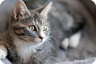 Domestic Mediumhair Cat for adoption in Dallas, Texas - Julia