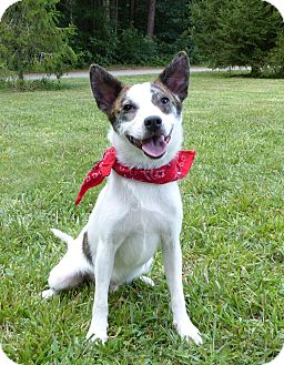 Australian Cattle Dog/Terrier (Unknown Type, Small) Mix Dog for adoption in Mocksville, North Carolina - Thomas