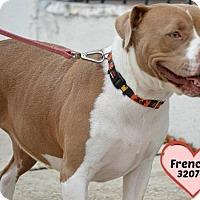 Adopt A Pet :: 320744 Frenchie - San Antonio, TX