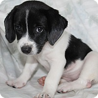 Australian Shepherd/Beagle Mix Puppy for adoption in Southington, Connecticut - Echo (adopted)