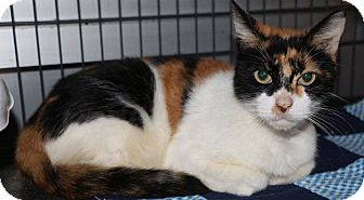 Domestic Shorthair Cat for adoption in New Orleans, Louisiana - Trippy