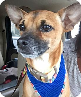 Chihuahua Dog for adoption in Potomac, Maryland - Rocky