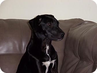 Labrador Retriever Mix Puppy for adoption in Youngsville, North Carolina - Penny