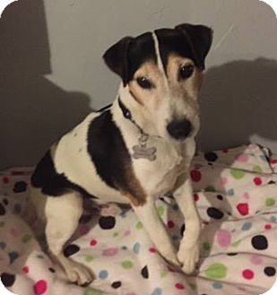 Jack Russell Terrier Dog for adoption in Austin, Texas - Karson in Amarillo