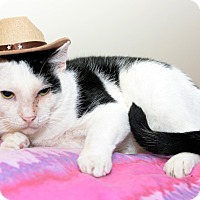 Domestic Shorthair Cat for adoption in Whitehall, Pennsylvania - Cowboy