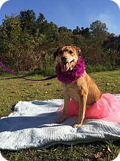 Labrador Retriever/German Shepherd Dog Mix Dog for adoption in Salisbury, North Carolina - Sydney