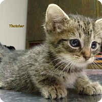Adopt A Pet :: Thatcher - Oskaloosa, IA