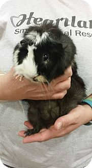 Guinea Pig for adoption in South Bend, Indiana - Tinker & Bella