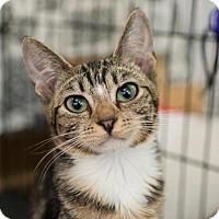 Domestic Shorthair Cat for adoption in Los Angeles, California - Angelina