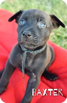 Australian Cattle Dog Mix Puppy for adoption in DFW, Texas - Baxter