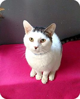 Domestic Shorthair Cat for adoption in Fremont, Ohio - Funk