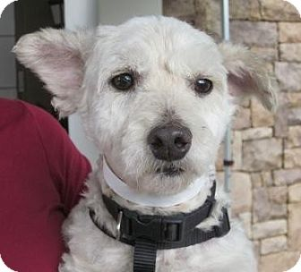 Poodle (Miniature)/Terrier (Unknown Type, Small) Mix Dog for adoption in Carlsbad, California - Shea