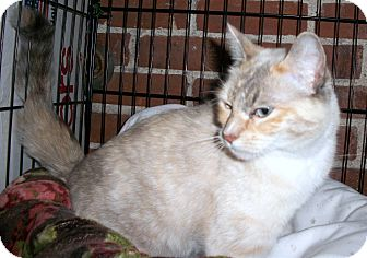 Siamese Cat for adoption in Boise, Idaho - Jewel