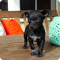 Adopt A Pet :: Lightning - Los Angeles, CA