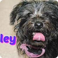 Adopt A Pet :: Miley - Sarasota, FL
