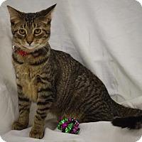 Domestic Shorthair Kitten for adoption in Hillside, Illinois - Theodore -- 6 MONTHS